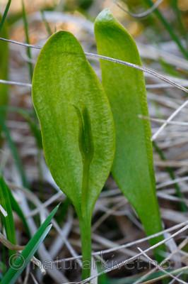 KA_08_1_0993_w / Ophioglossum vulgatum / Ormetunge