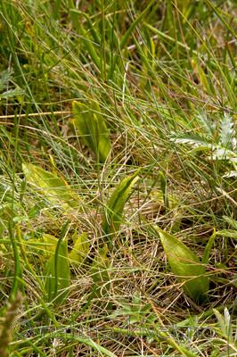 KA_08_1_1517 / Ophioglossum vulgatum / Ormetunge