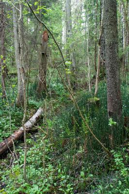 KA_090519_0888 / Equisetum hyemale / Skavgras