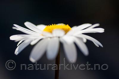 KA_090613_1184 / Leucanthemum vulgare / Prestekrage