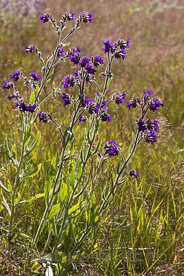 KA_090622_1362 / Anchusa officinalis / Oksetunge