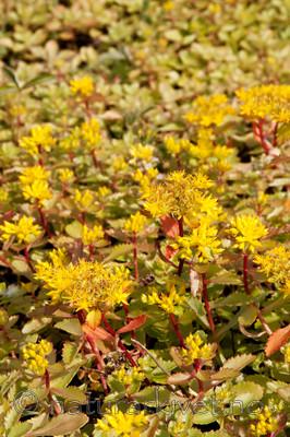 KA_090629_1497 / Phedimus hybridus / Sibirbergknapp
