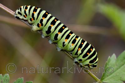 KA_090820_2483 / Papilio machaon / Svalestjert