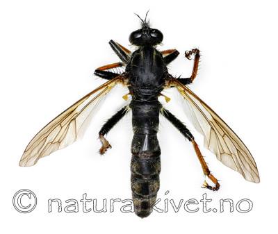 KA_090910_germanicus_female_dorsal / Pamponerus germanicus / Tysk rovflue