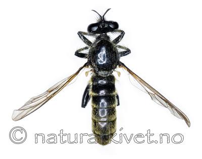 KA_090910_marginata_male_dorsal / Choerades marginata / Stripet rovflue
