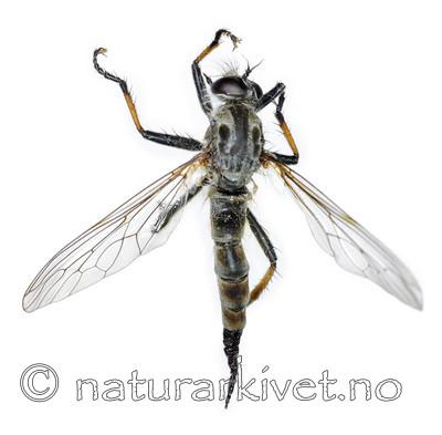 KA_090914_cyanurus_female_dorsal / Neoitamus cyanurus / Svartfotskogrovflue