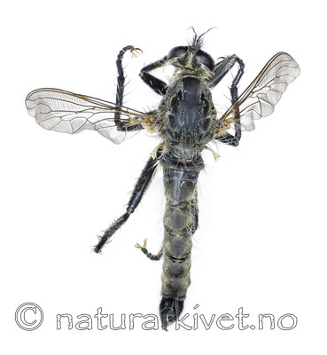 KA_090914_picipes_male_dorsal / Didysmachus picipes / Svartfotrovflue