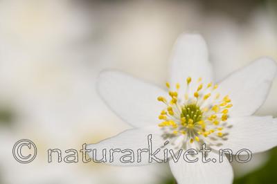 KA_100424_1119 / Anemone nemorosa / Hvitveis