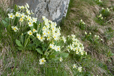 KA_100514_2802 / Primula vulgaris / Kusymre