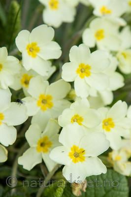 KA_100514_2804 / Primula vulgaris / Kusymre