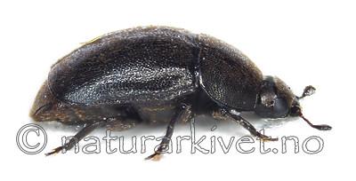 KA_100519_norvegicus_side / Meligethes norvegicus / Dragehodeglansbille