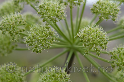 KA_100529_3432 / Angelica archangelica litoralis / Strandkvann