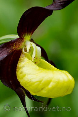 KA_100613_3806 / Cypripedium calceolus / Marisko
