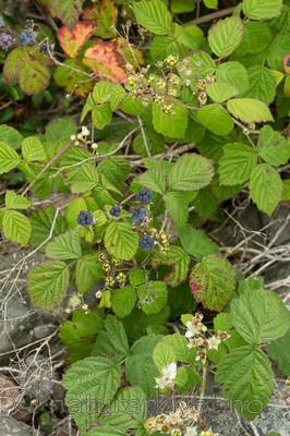KA_100725_7178 / Rubus caesius / Blåbringebær