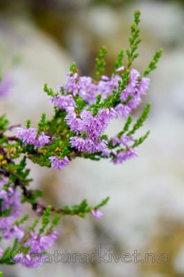 KA_100805_6529 / Calluna vulgaris / Røsslyng <br /> Cetraria islandica / Islandslav