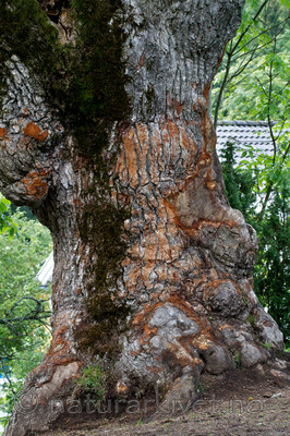 KA_100826_5279 / Quercus robur / Sommereik