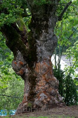KA_100826_5280 / Quercus robur / Sommereik