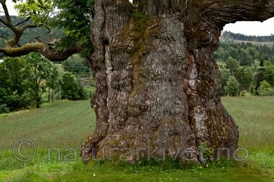KA_110630_1922 / Quercus robur / Sommereik