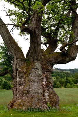 KA_110630_1924 / Quercus robur / Sommereik