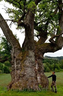 KA_110630_1925 / Quercus robur / Sommereik