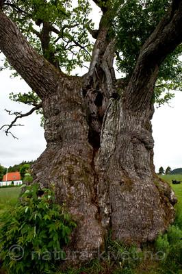 KA_110630_1929 / Quercus robur / Sommereik