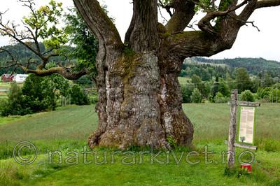 KA_110630_1934 / Quercus robur / Sommereik