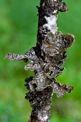 KA_110817_4251 / Pseudocyphellaria crocata / Gullprikklav