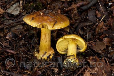 KA_110908_3178 / Cortinarius meinhardii / Kanarigul slørsopp