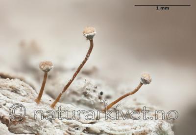 KA_111221_farinacea_mm / Sclerophora farinacea / Blådoggnål