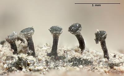 KA_120206_lenticulare_mm / Calicium lenticulare / Fossenål