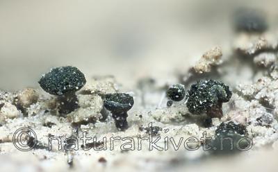 KA_120207_adspersum / Calicium adspersum / Breinål