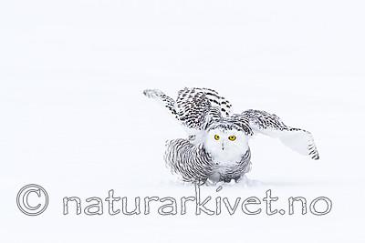 KA_120322_0433 / Bubo scandiacus / Snøugle