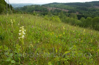 KA_120614_2597 / Platanthera montana / Grov nattfiol