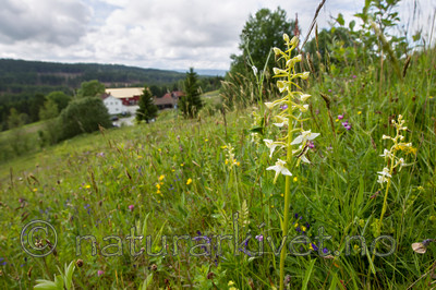 KA_120614_2601 / Platanthera montana / Grov nattfiol