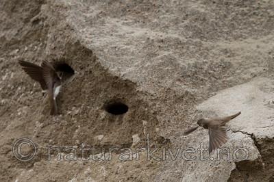 KA_120620_2239 / Riparia riparia / Sandsvale