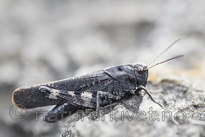 KA_120813_2999 / Psophus stridulus / Klapregresshoppe