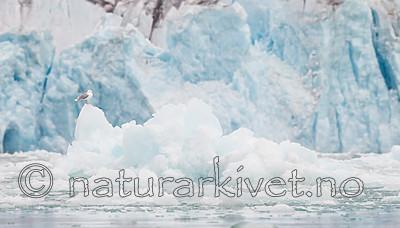 KA_130816_3396 / Larus hyperboreus / Polarmåke