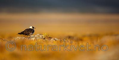 KA_130818_3974 / Stercorarius parasiticus / Tyvjo