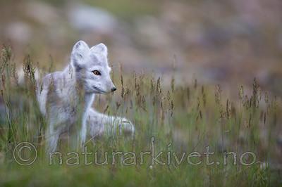 KA_130819_4393 / Vulpes lagopus / Fjellrev