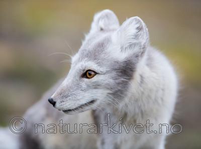KA_130819_4400 / Vulpes lagopus / Fjellrev