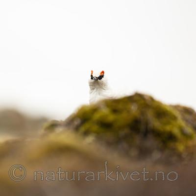 KA_140608_1873 / Lagopus muta hyperborea / Svalbardrype