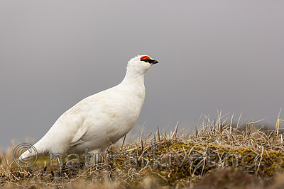 KA_140608_1882 / Lagopus muta hyperborea / Svalbardrype