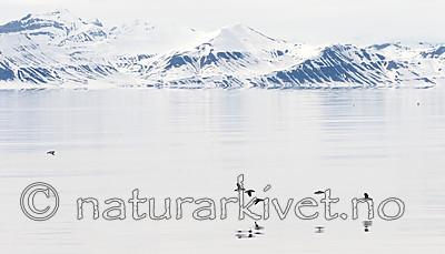 KA_140616_5435 / Fratercula arctica / Lunde