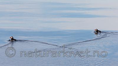 KA_140616_5438 / Fratercula arctica / Lunde