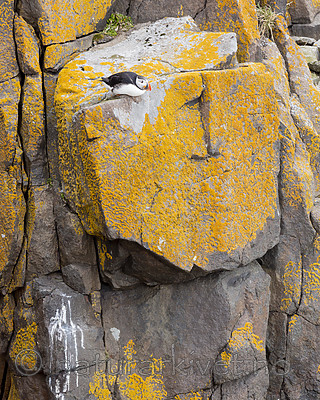 KA_140616_5477 / Fratercula arctica / Lunde