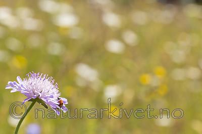 KA_140702_1239 / Coccinella quinquepunctata / Fem-prikket marihøne <br /> Knautia arvensis / Rødknapp