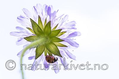 KA_140702_1242 / Coccinella quinquepunctata / Fem-prikket marihøne <br /> Knautia arvensis / Rødknapp