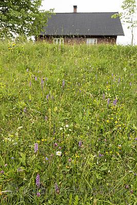 KA_140706_6083 / Gymnadenia conopsea / Brudespore