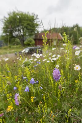 KA_140706_6104 / Knautia arvensis / Rødknapp
