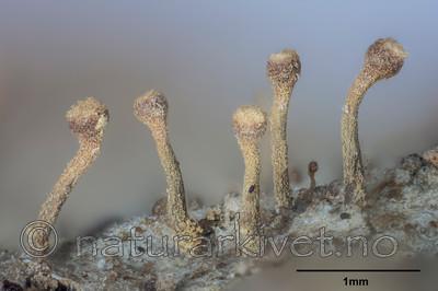 KA_141122_coniophaea_mm / Sclerophora coniophaea / Rustdoggnål